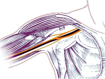 simplified display of the nerve network in the armpit