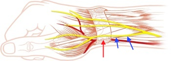 Course of the superficial nerves close to the first extensor compartment.